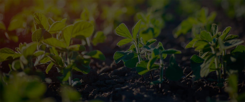 Soy Plants